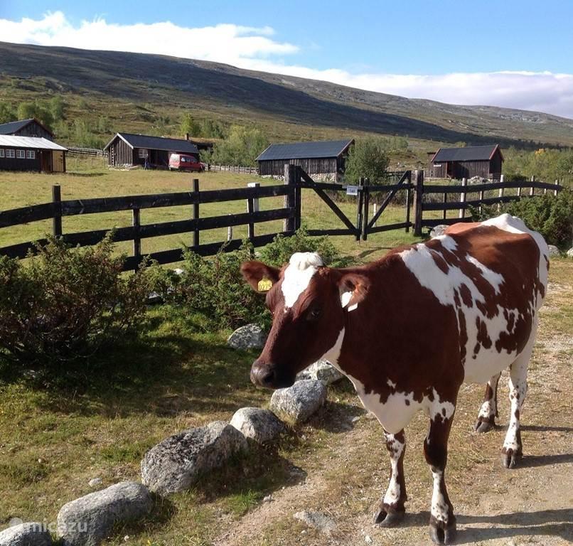 Koeien buiten het terrein