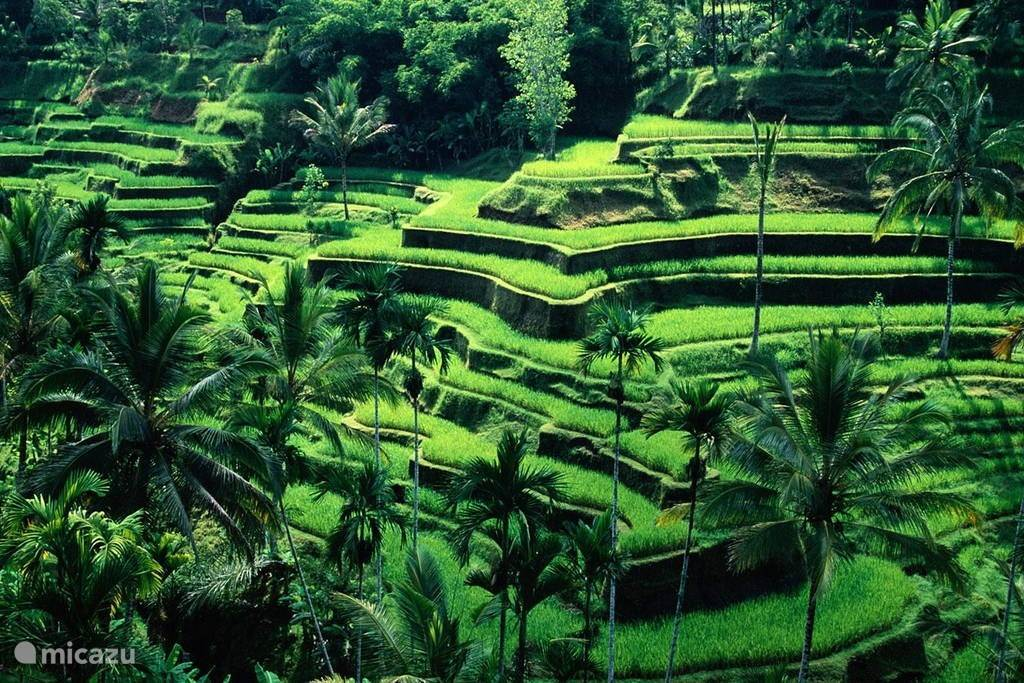 Rice terraces in Tegallalang