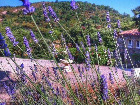 Lavender in the hamlet