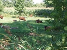 Schapen in overvloed in het idyllische Friesland!