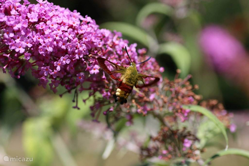 Butterfly bush with hummingbird hawk-moth