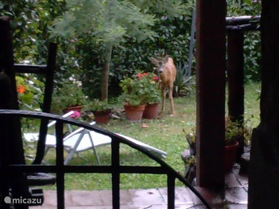 De natuur dichtbij. Hertjes lopen rond in de tuin.