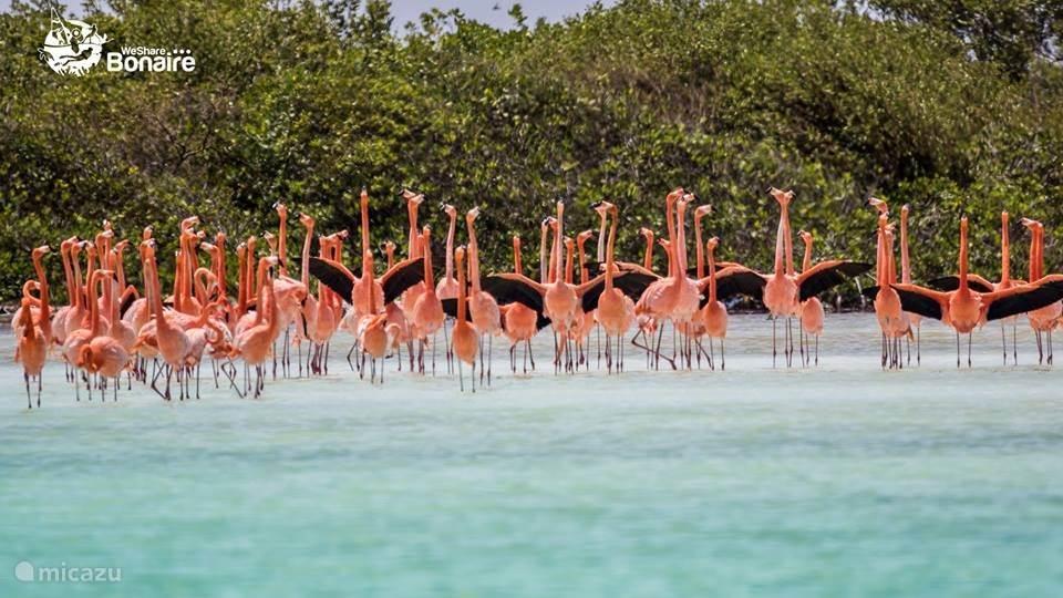 Flamingos tummeln sich auf Bonaire