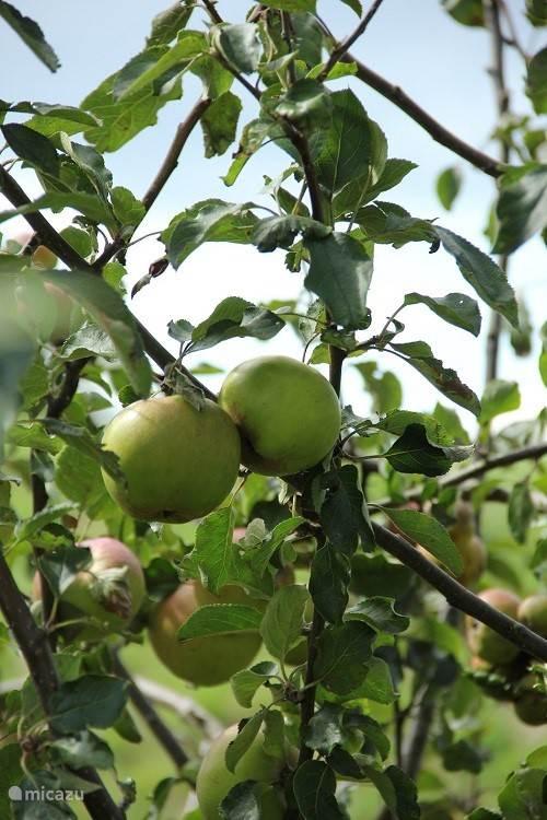 eigen appels in de tuin