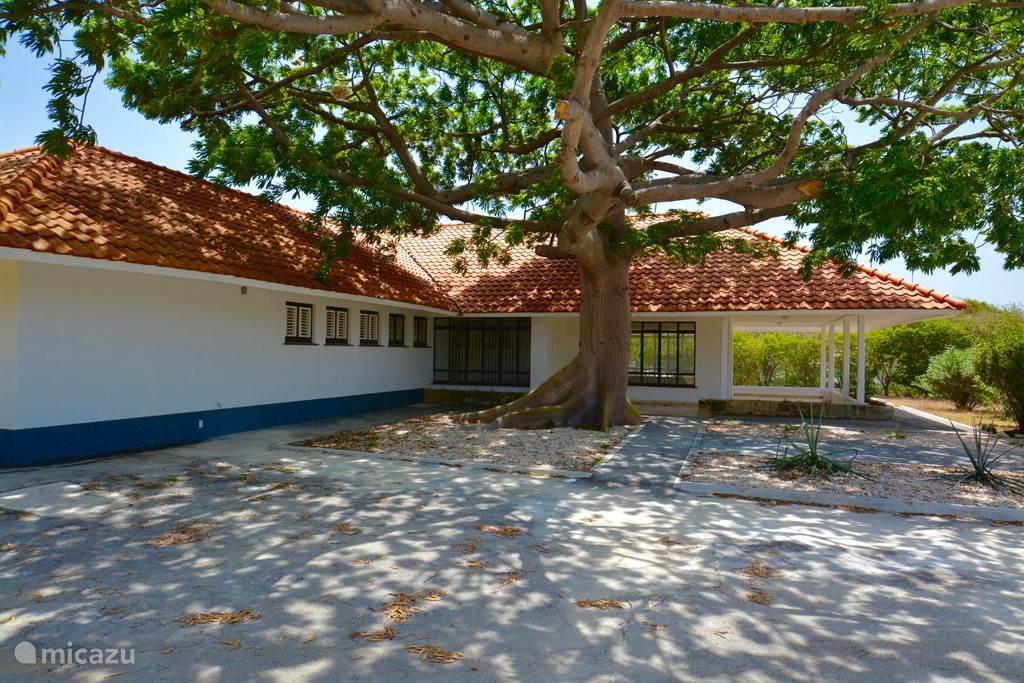 Relaxen in de schaduw van de 60 jaar 'jonge' katoenboom!