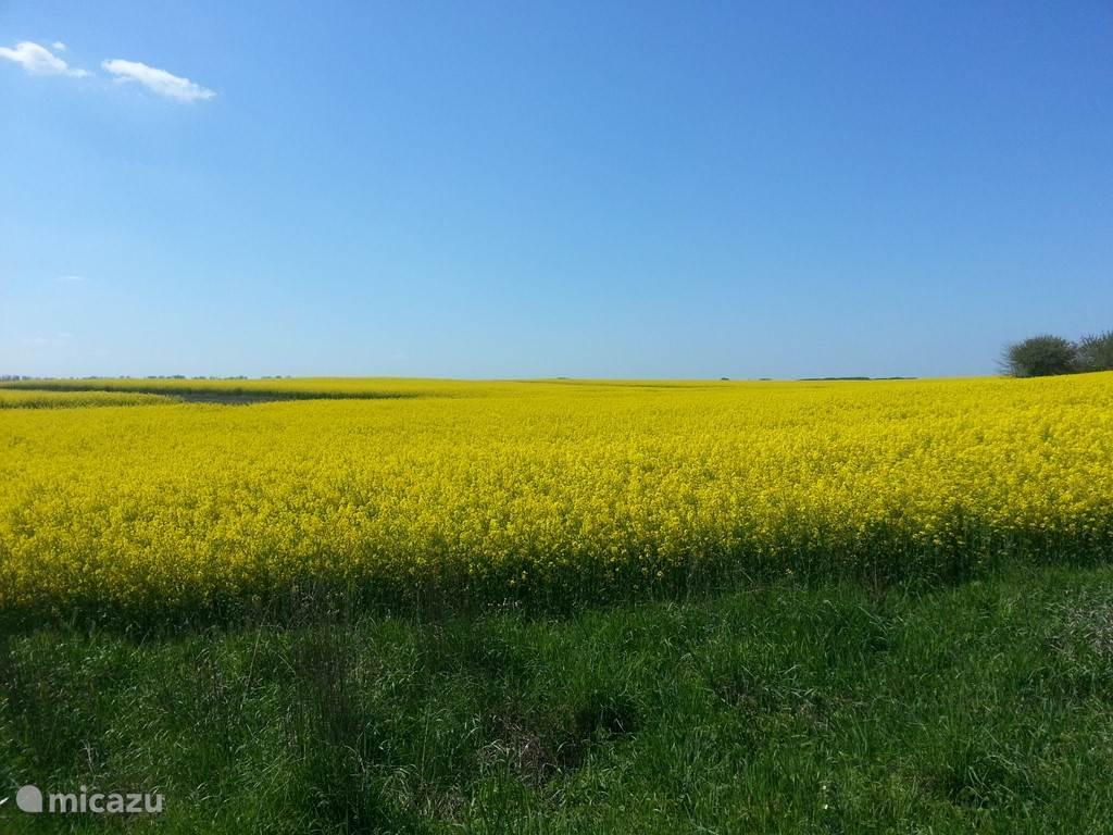 In de omgeving vakantiehuis en Tiszameer zijn prachtige koolzaadvelden. Ook veel zonnebloemvelden.
