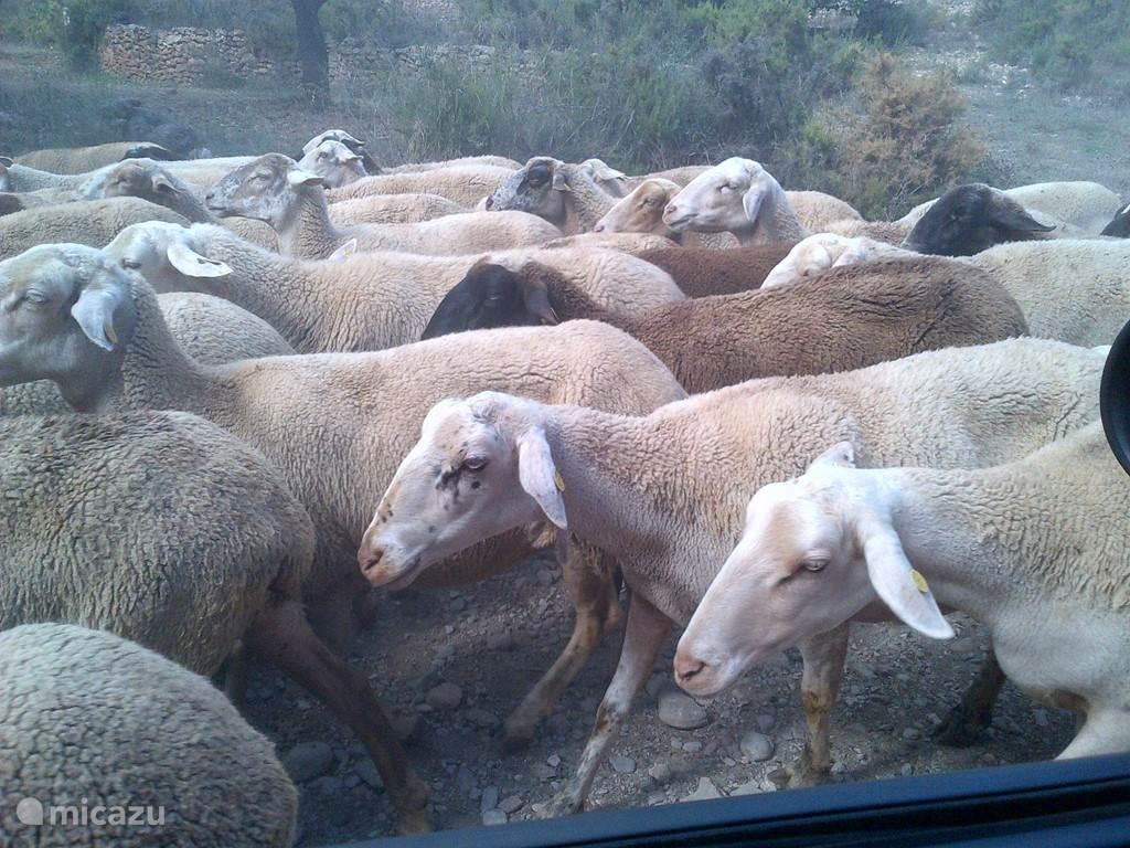 passerende schapen