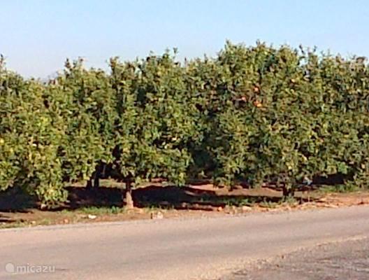 sinaasappelbomen rond Moncofa