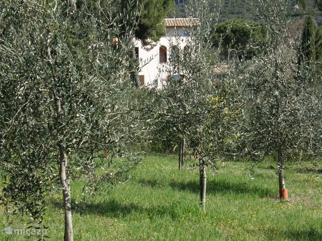 De olijfgaard.