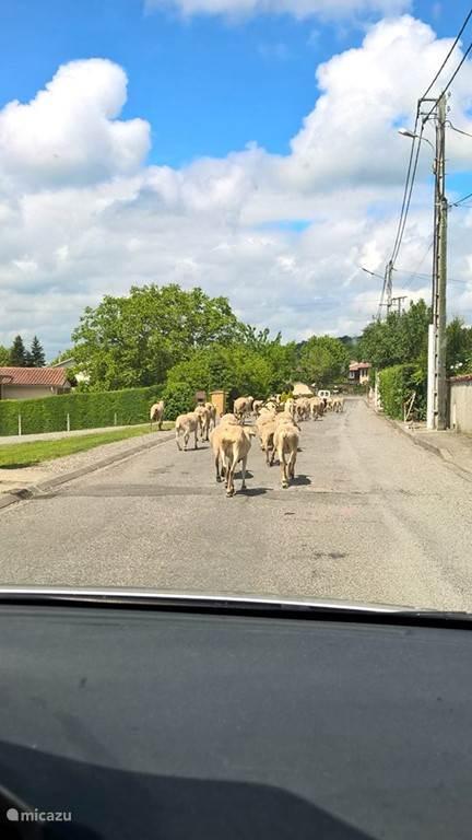 De herder met zijn schapen lopen regelmatig door de straat
