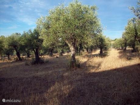 Olijfboombaard met 300 olijfbomen