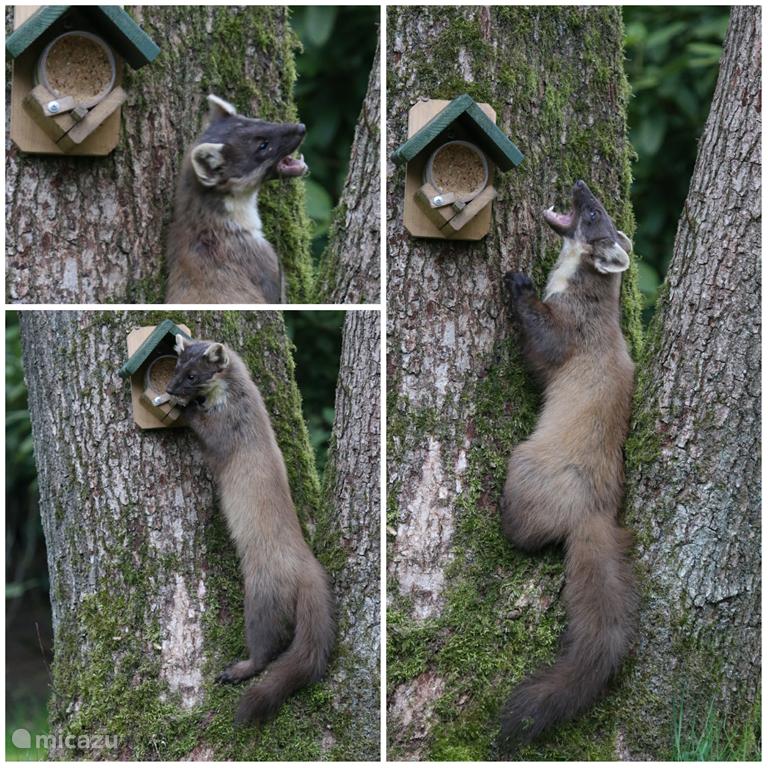 Ook de boommarter komt op de pindakaas af. ??