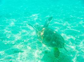 Turtle in Blue Bay
