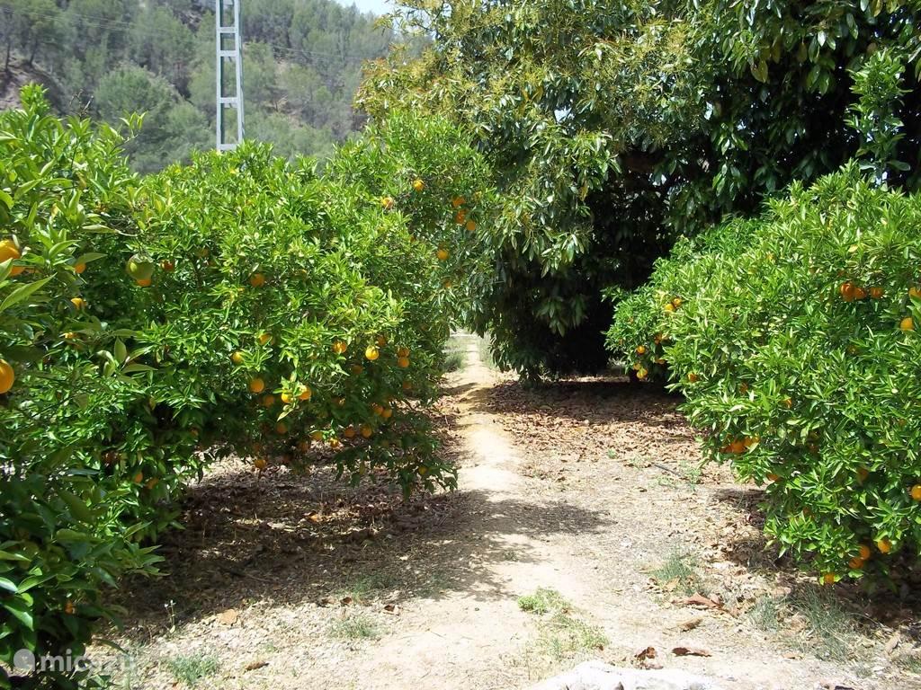 Wandelpad tussen de sinasappel bomen