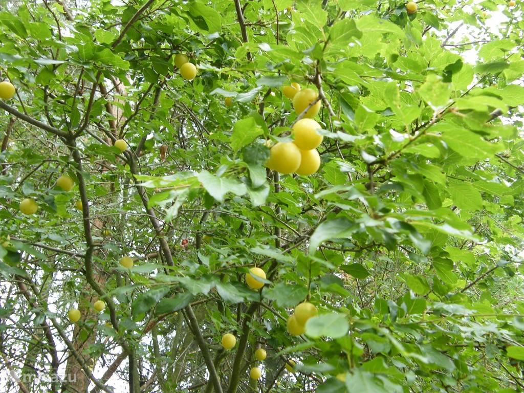Een van de verschillende fruitbomen in de tuin
