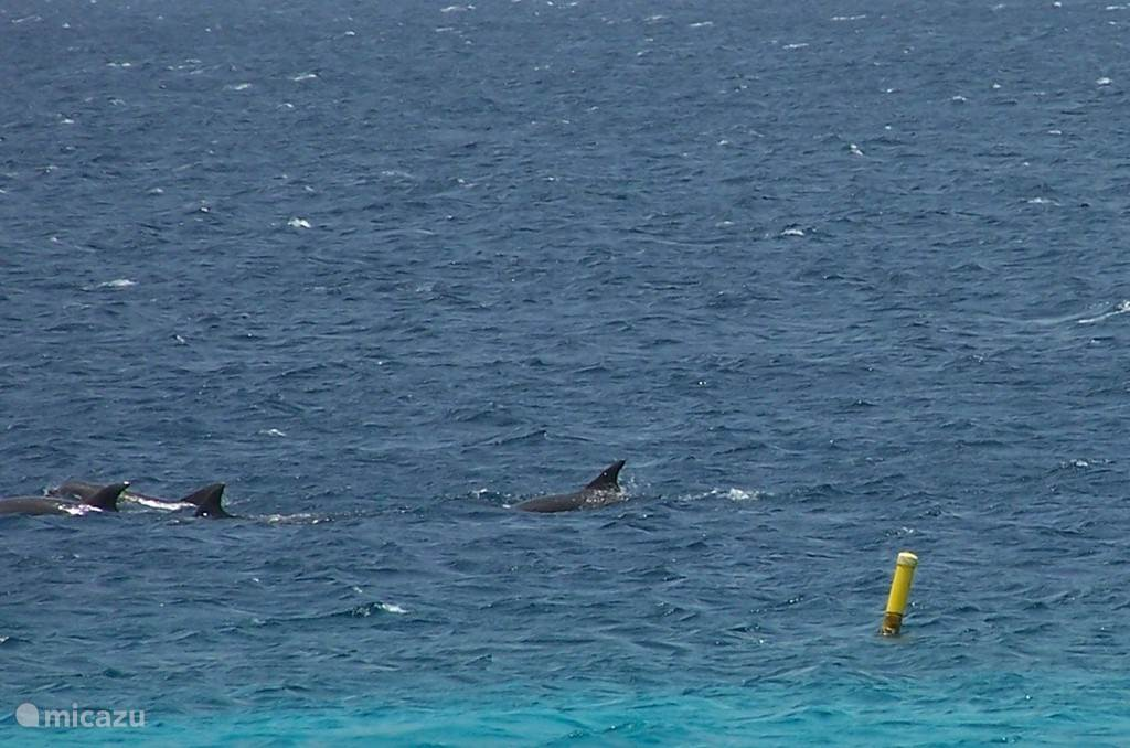 regelmatig zwemmen dolfijnen langs de kust