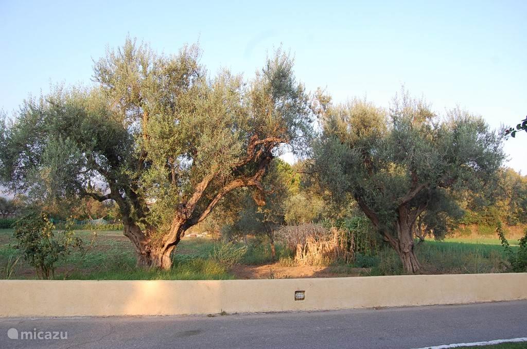 Olijfbomen aan de voorzijde