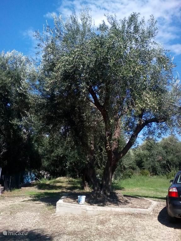 Een van de mooie olijfbomen.