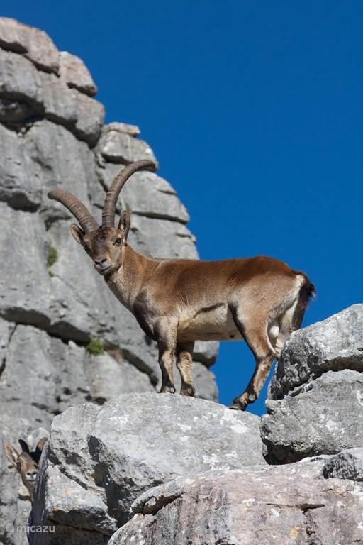 Het wondermooie El Torcal met zijn wilde geiten (cabra iberico)