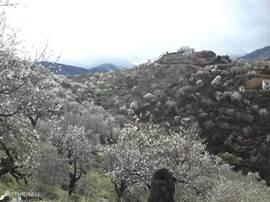 De  in amandelbloesem die uitkomt in het vroege voorjaar. Het hele dal is dan wit.