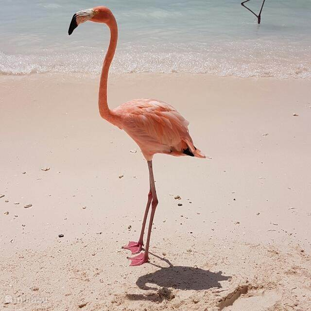 Flamingo on Renaissance Island