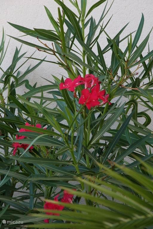 Mooie oleanders