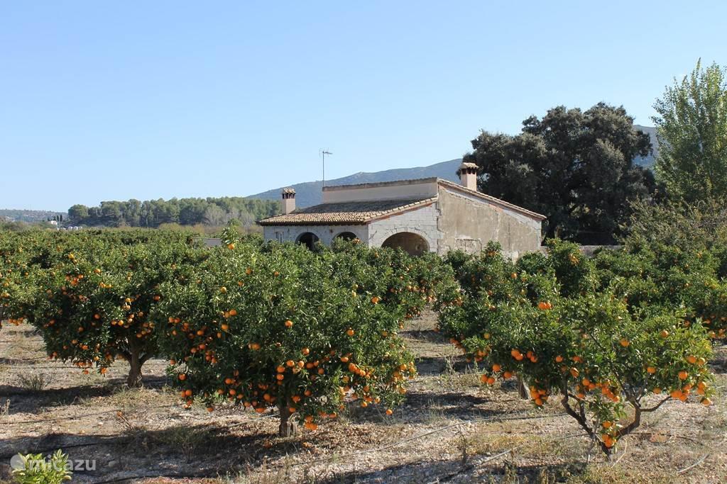 veel sinaasappels in de omgeving