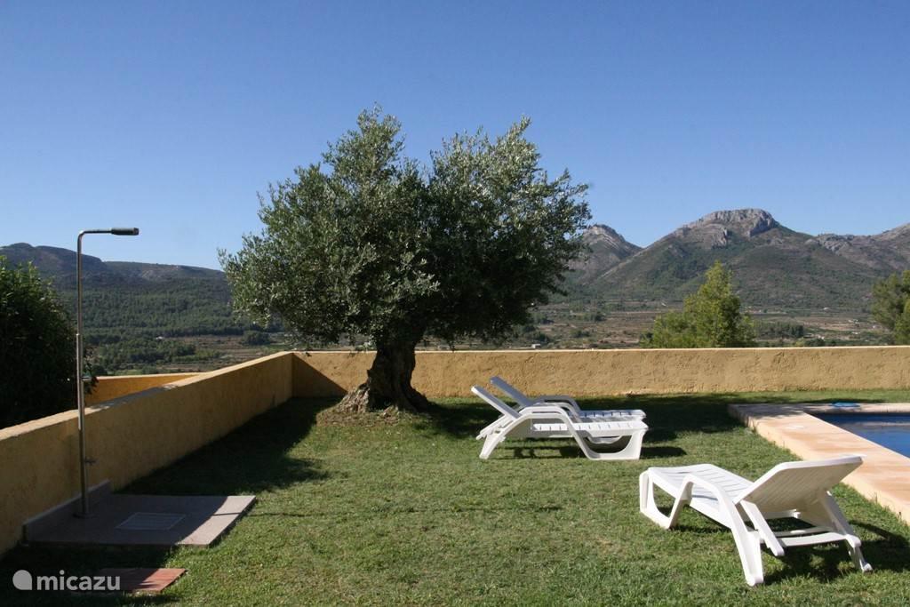mooie olijfboom bij het zwembad