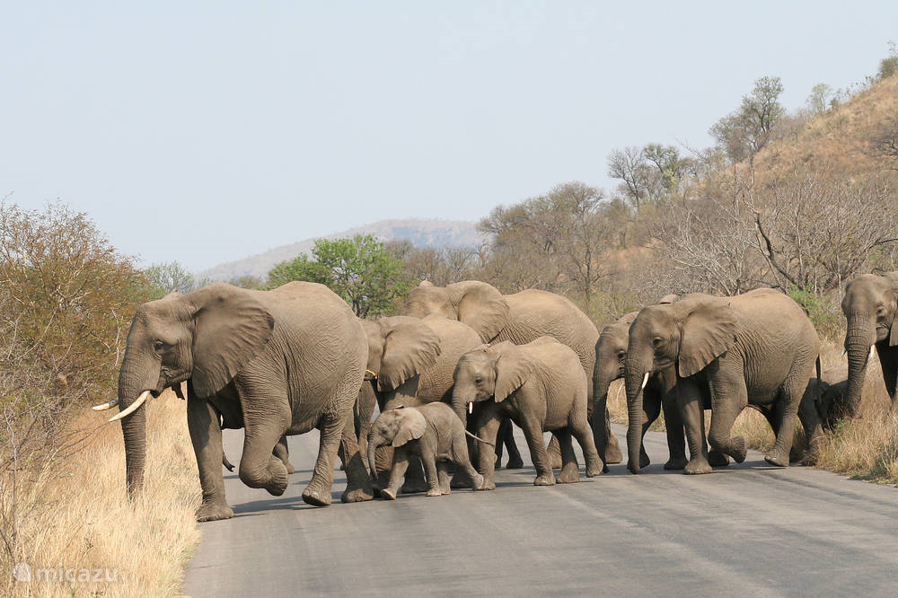 Olifanten in Krugerpark
