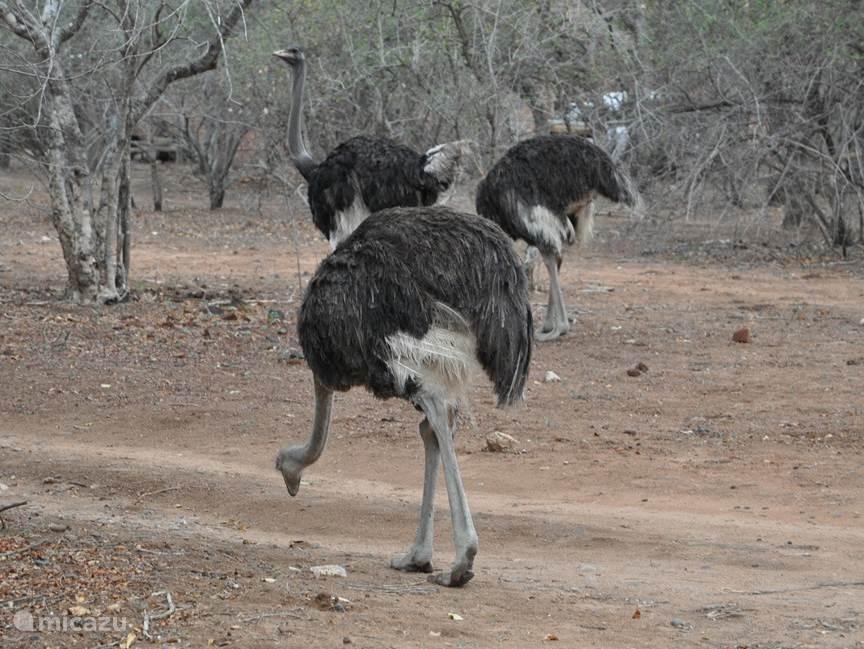 Struisvogels in de tuin