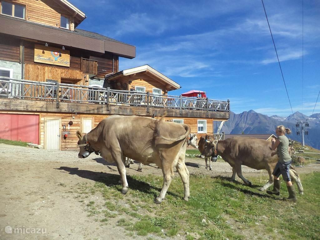 De koeien (met bellen) gaan  's middags om 4 uur weer naar de stal. Je ziet ze hier voorbij Hamilton Lodge lopen. Dat is op ca. 300m van ons chalet