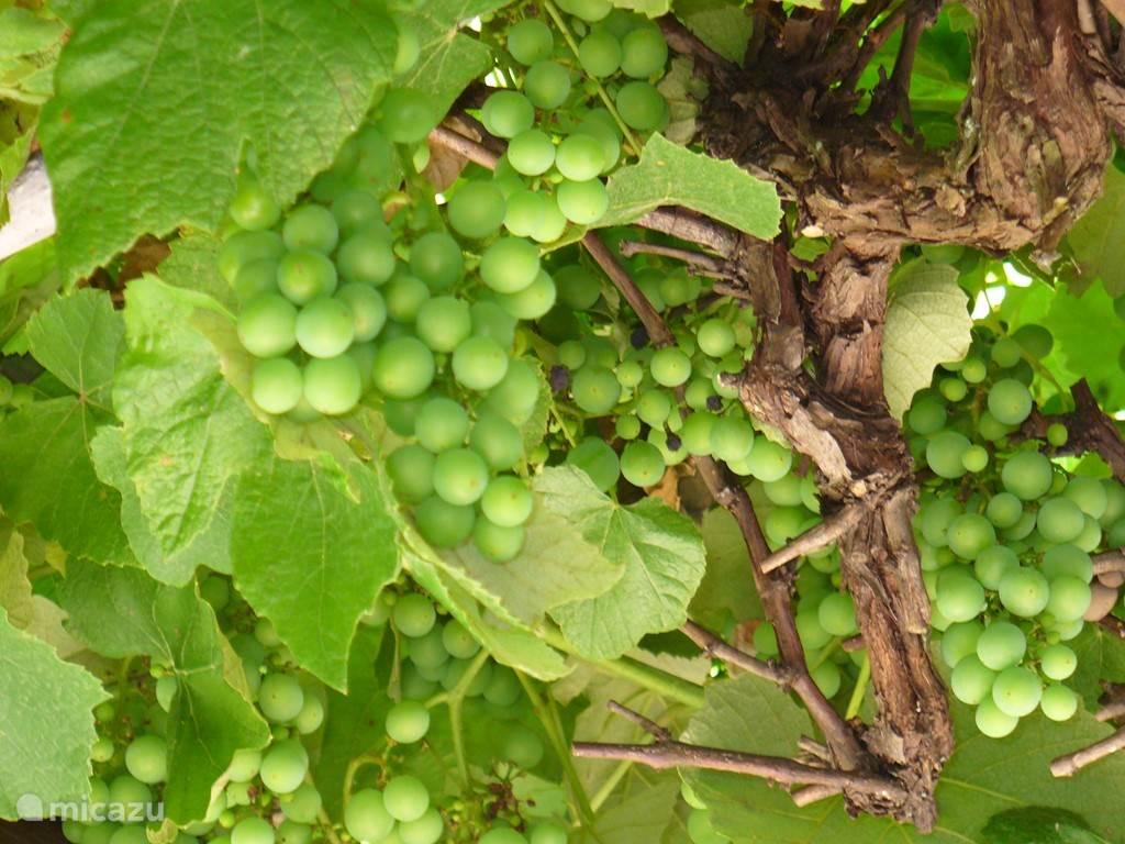 Druiven boven de Pergola in de tuin