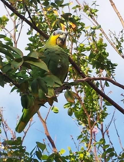 Misschien spot u wel een papegaai in de tuin