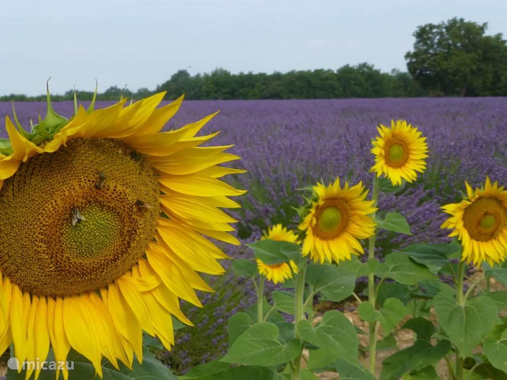 juni is de maand van lavendel en zonnebloemen