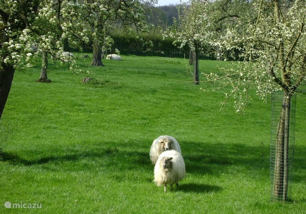 Geniet van de ruime huisweide van 13.000 meter met hoogstam fruitbomen en grazende schapen.