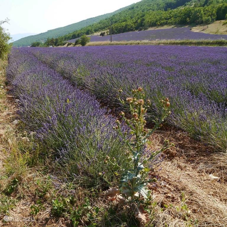 lavendel in de Vaucluse