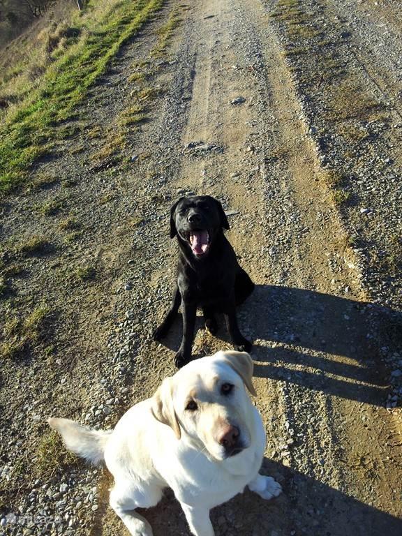 Onze twee labradors, Luna en Kiki