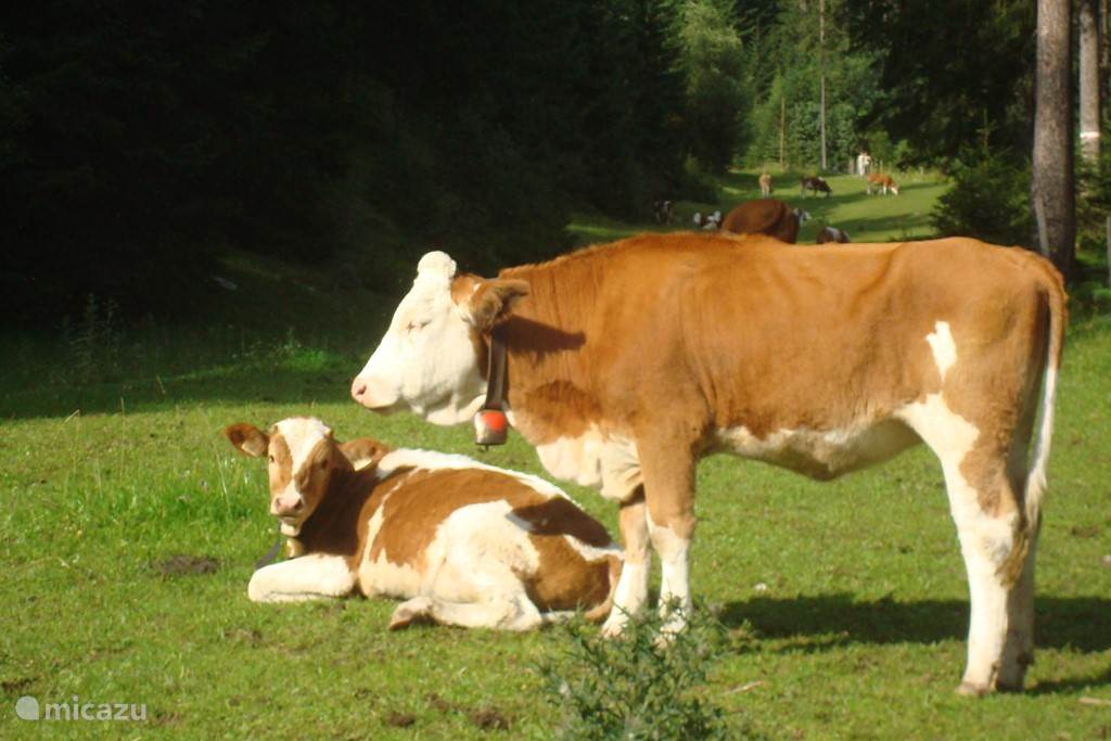 Cows with bells