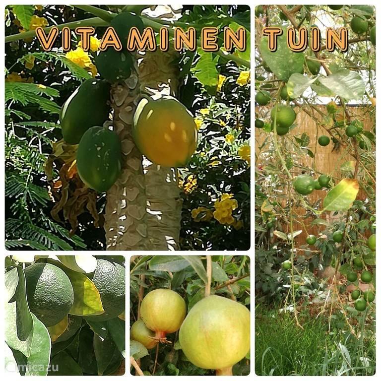 Einige unserer Obstbäume; Granatapfel, Kalk, Papaya, orange.