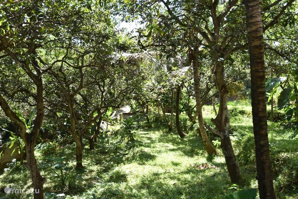 de tuin met mango bomen