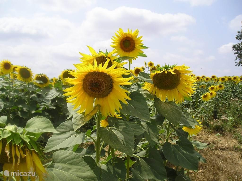 Veel mooie zonnebloemen.