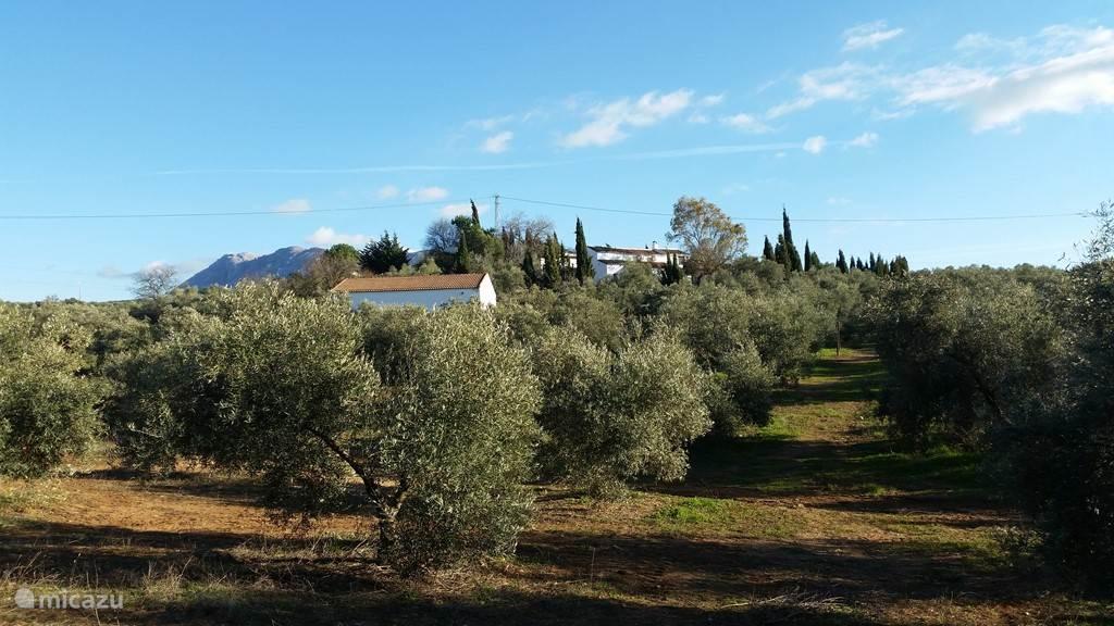 Rancho Sierra Azul en olijfboomgaard