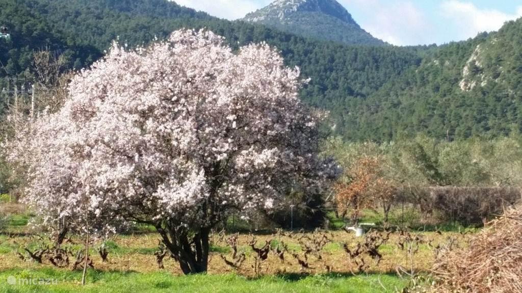 Amandelboom in bloei.