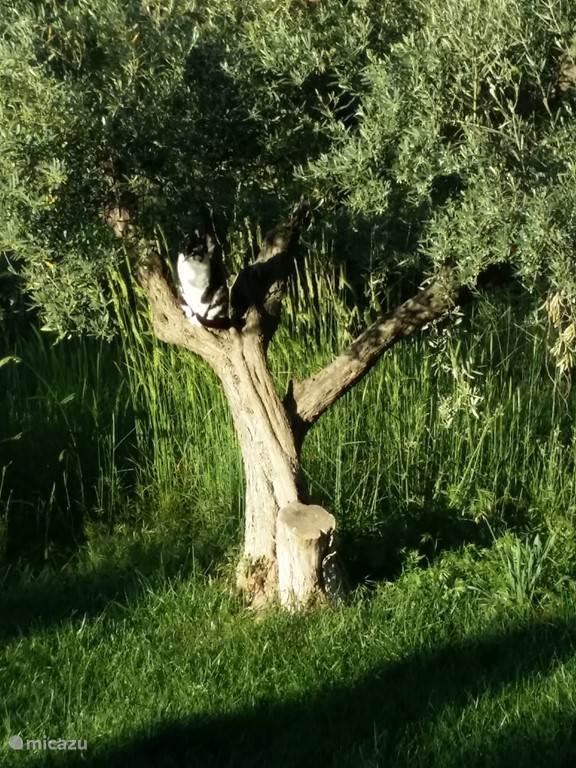 Hoe je een olijfboom ook kan gebruiken.