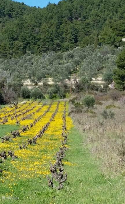 Bloeiende koolzaad tussen de wijnranken.