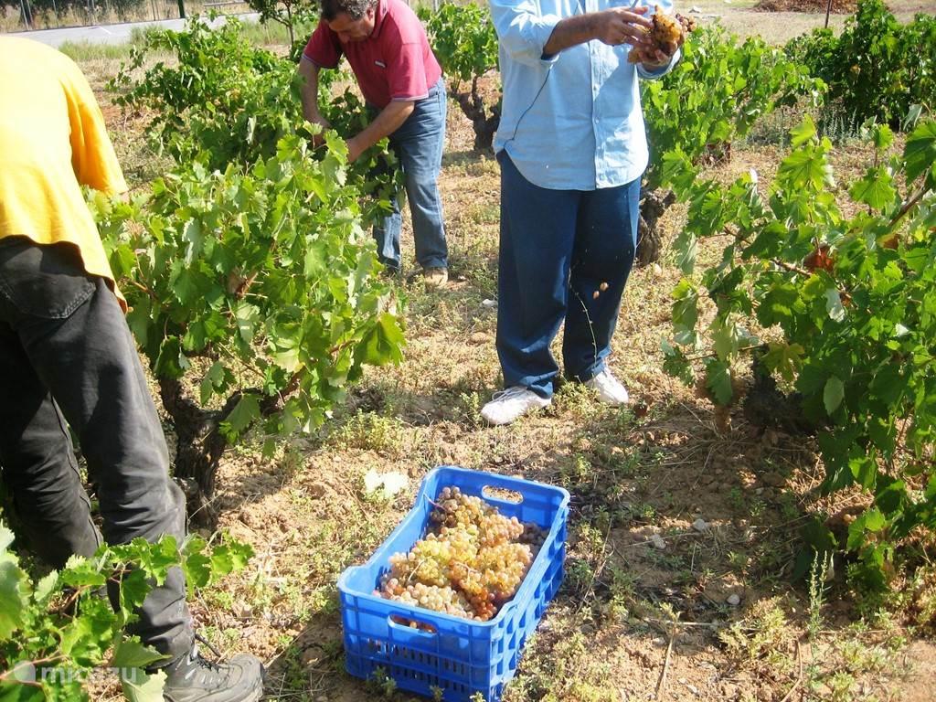 De druivenoogst eind september.