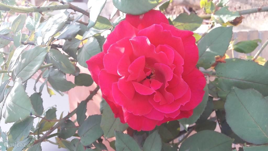 rozen in de rozentuin