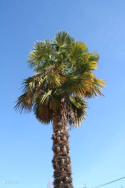 Als je zo zuidelijk bent, wil je ook een palmboom in je tuin!