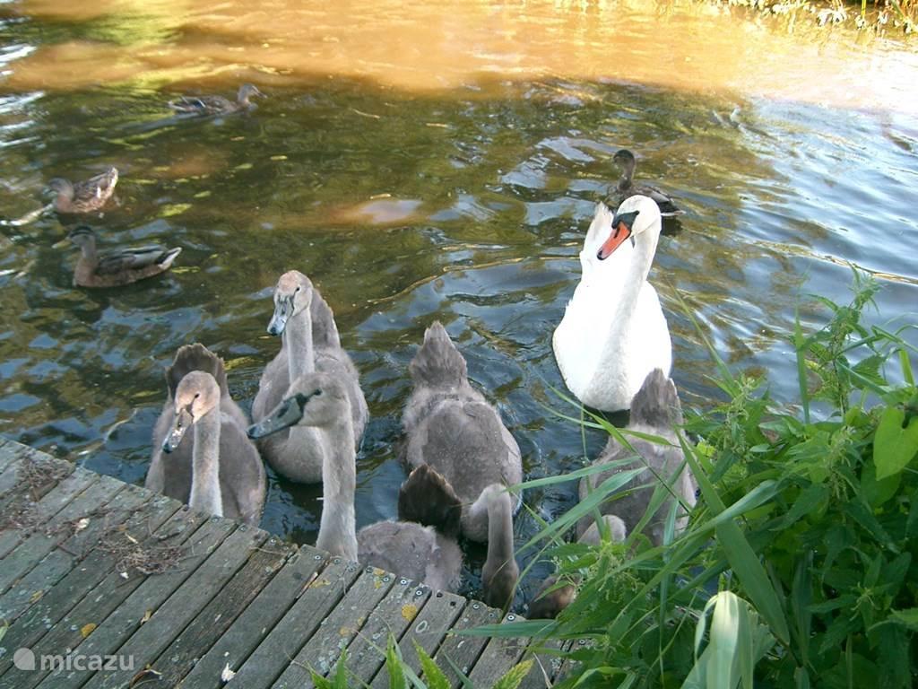 Een zwanenfamilie in Giethoorn