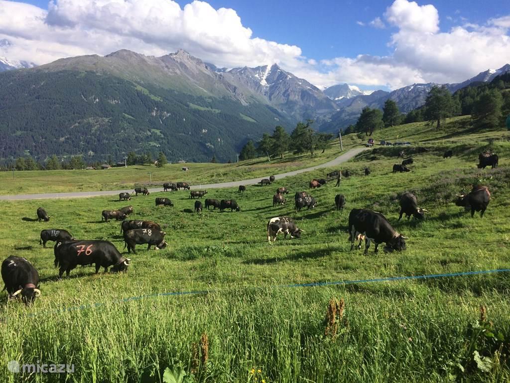 Alpenweide en open bos